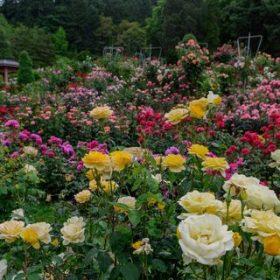 Како изгледаат музеите на розата?
