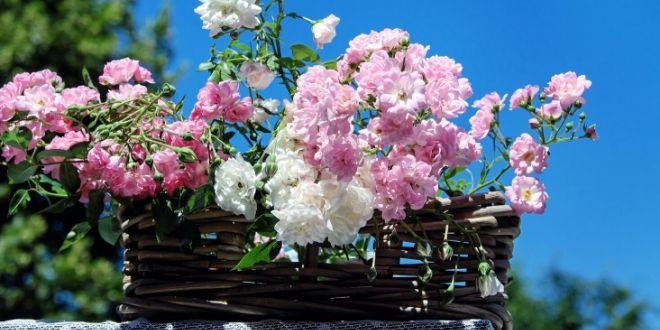 Искористете ја сезоната на розите. Како да направите ликер од роза? Рецепт
